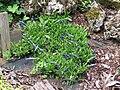 2018-05-13 (210) Unidentified Gentian (Gentiana) at Bichlhäusl in Frankenfels, Austria.jpg