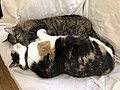 2020-01-15 22 45 14 A Tabby cat and a Calico cat cuddling on a couch in the Franklin Farm section of Oak Hill, Fairfax County, Virginia.jpg