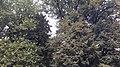 20200924 180227 Клён в левой части, Липа в правой части.jpg