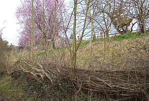 Hedge laying - A hedge about three years after being re-laid