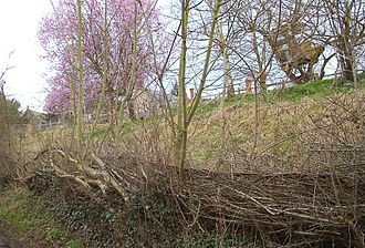 Hedgelaying - A hedge about three years after being re-laid