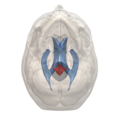 4th ventricle - 06.png