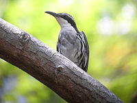 7575 Stripe-sided Rhabdornis 3.jpg