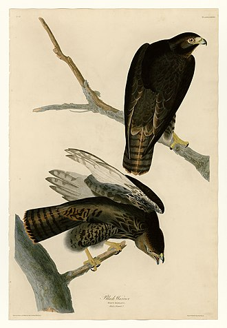 The Birds of America - Image: 86 Black Warrior