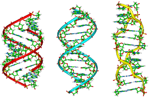 Nucleic acid structure - A-B-Z-DNA Side View