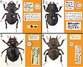 A-review-of-the-primary-types-of-the-Hawaiian-stag-beetle-genus-Apterocyclus-Waterhouse-(Coleoptera-zookeys-433-077-g001.jpg