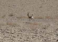A Gazella in Biduiyeh Protected Area.jpg
