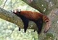 A Red Panda taking a sleep (14770099646).jpg