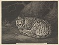A Sleeping Leopard MET DP835547.jpg