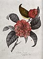 A camellia (Camellia japonica var.); flowering stem. Coloure Wellcome V0044579.jpg