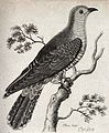 A cuckoo sitting on a branch of a tree. Etching by T. Owen. Wellcome V0020936.jpg