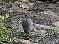 A domestic bird at Chinnar WLS Kerala (8).jpg