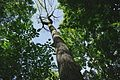 A large dying White Ash Tree infected with the Emerald Ash Borer.JPG