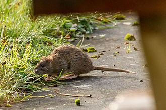 Rat - A rat by a riverbank
