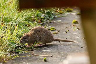 Rat - A rat by a riverbank