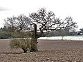 A weather-beaten old tree - geograph.org.uk - 739017.jpg