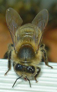 La reine des abeilles dans ABEILLES 220px-Abeille-bee-face