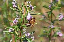 Resultado de imagen de flor romero abeja