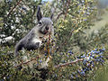 Aberts juniper.jpg