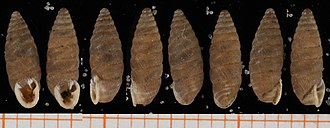 Abida partioti - Eight shells of Abida partioti   scale bar is in mm