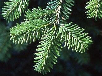 Abies mariesii - Maries' fir leaves