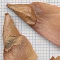 Abies pinsapo f 12.jpg