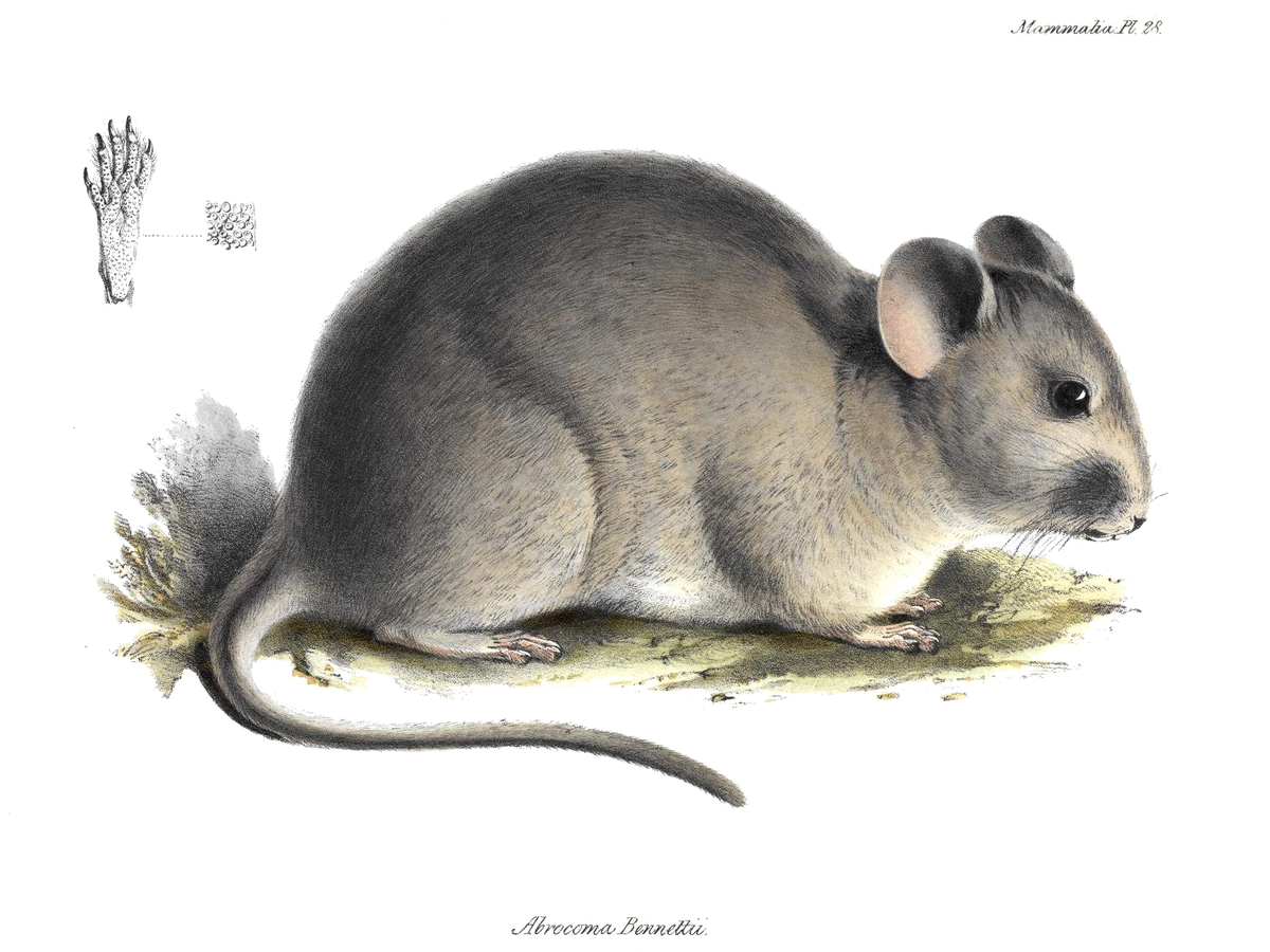 Chinchilla Rat Wikipedia