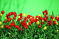 Abundant Colorful Spring Tulips on Green (5680695867).jpg