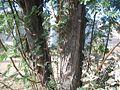Acacia-smallii-bark.jpg