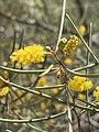 Acacia aneura var. aneura 02.jpg