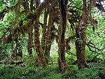 Acer macrophyllum in Hoh Rain Forest.jpg