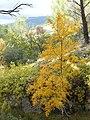 Acer monspessulanum en automne - 01.jpg