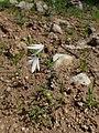 Acis trichophylla kz04 Morocco.jpg