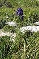 Aconitum napellus inflorescence (42).jpg