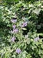 Aconitum variegatum subsp. variegatum sl55.jpg