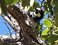 Acorn woodpecker in oak tree.jpg