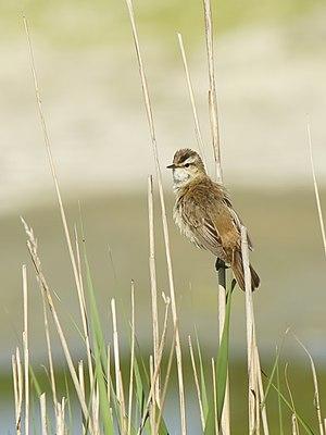 Sedge warbler - Sedge warbler in its habitat: a reedbed. Uitkerke, Belgium