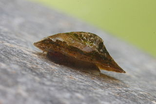 <i>Acroloxus lacustris</i> species of Gastropoda