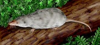 Adelobasileus - Image: Adelobasileus cromptoni