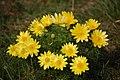 Adonisröschen blühen im Frühjahr auf dem Sodenberg.jpg
