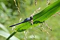 Adult Male Eastern Pondhawk (Erythemis simplicicollis) (14742451690).jpg