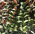 Aeschynanthus marmoratus 2.JPG
