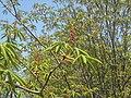 Aesculus pavia L.2.JPG