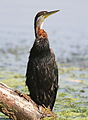 African Darter, Anhinga rufa at Marievale Nature Reserve, Gauteng, South Africa (21183327245).jpg