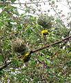 African Masked Weaver - Zambezi Valley Zambia -3.jpg