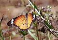 African Monarch Butterfly, Danaus chrysippus (8418498831).jpg