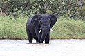 African elephant, Lake St Lucia 02.jpg