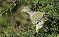 African green pigeon, Treron calvus, Kruger main road near Punda Maria turn-off, Kruger National Park, South Africa (26186638336).jpg