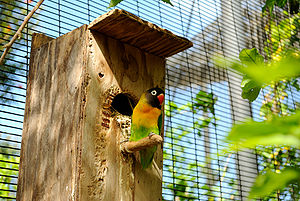 Lovebird - A yellow-collared lovebird perching by the entrance to a nest box in a large aviary at Honolulu Zoo, Hawaii, USA