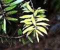 Agathis australis in Auckland Botanic Gardens 01.jpg